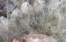 Denuncien atacs de guineus a vedells a l'Alt Urgell