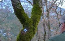 El consell crea un registre d'arbres d'interès local per protegir-los