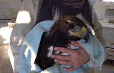 Recuperen un exemplar d'àguila reial electrocutada a Soses