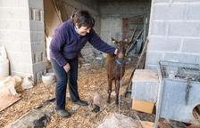 La cabra de Briançó, resituada en una granja