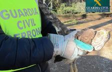 El Seprona rescata a un azor herido en Puigverd de Lleida