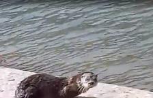 Una nutria se deja ver y grabar en la canalización del río Segre en Balaguer