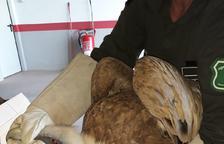 Rescatan un buitre que no podía volar en La Donzell d'Urgell