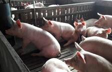 Los ganaderos exigen a la industria transparencia en el pesaje de cerdos
