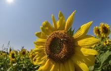 Brussel·les dóna llum verda a restringir pesticides nocius per a les abelles