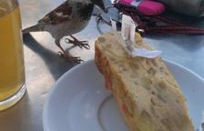 Un ocell famolenc i descarat