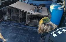 Denuncien dos caçadors per introduir conills sense permís en un vedat de Torà