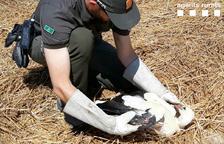 Rescatan una cigüeña herida en Vallfogona