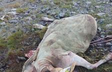 Un nuevo ataque del oso en Aran termina con otra oveja muerta
