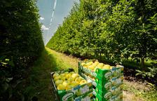 Nufri preveu collir 75 milions de quilos de poma aquesta campanya
