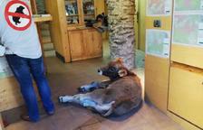 Deixen un vedell ferit a l'oficina del Parc en protesta pels atacs dels óssos