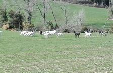 Agricultura autoritza a abatre les cabres assilvestrades denunciades a Oliana