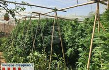 Els Mossos d'Esquadra denuncien dos homes per una plantació de marihuana a Miralcamp