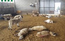 Perros asilvestrados matan 26 ovejas y hieren a 35 más en un ataque a una granja de Ponts