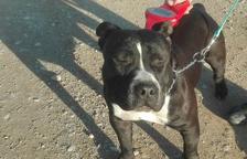 Capturan dos perros abandonados en Rosselló