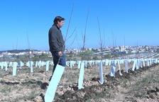 Un agricultor de Tàrrega conrea l'única plantació de poma ecològica de l'Urgell
